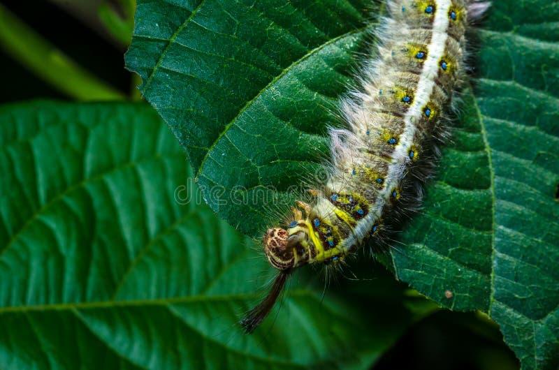 图片 包括有 飞蛾, 蠕虫, 长毛, 空白, 昆虫, 叶子, 野生生物图片