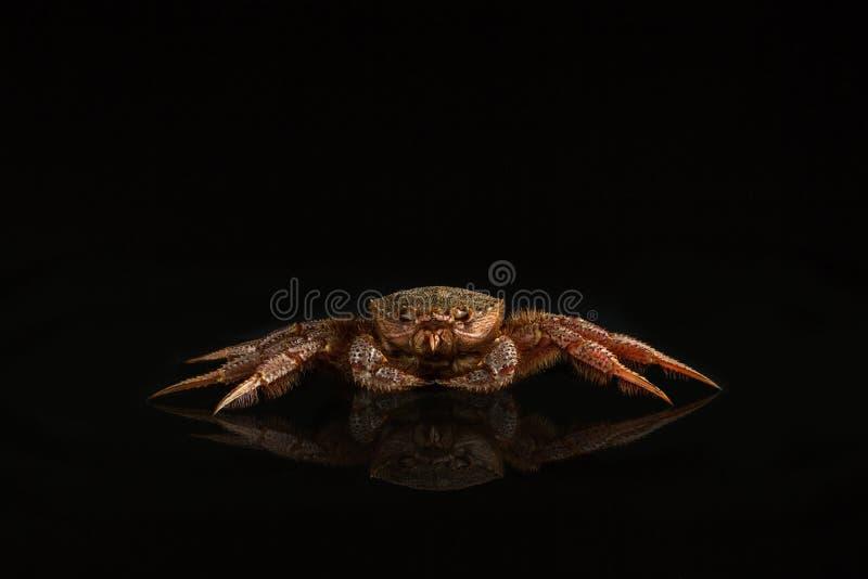 长毛的螃蟹 免版税库存图片