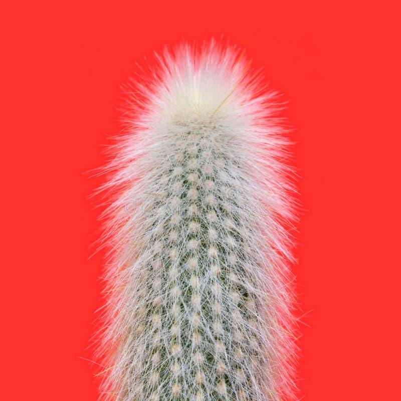 长毛的银色火炬仙人掌 图库摄影