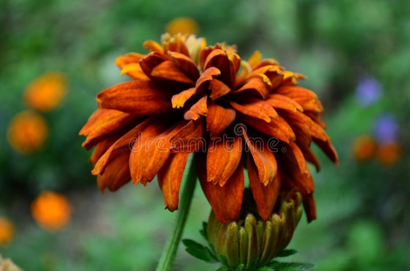 长毛的Rudbekia -一个草本植物,家庭菊科的类黄金菊的种类 图库摄影