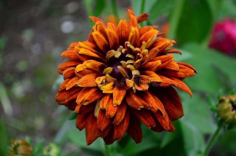 长毛的Rudbekia -一个草本植物,家庭菊科的类黄金菊的种类 免版税图库摄影