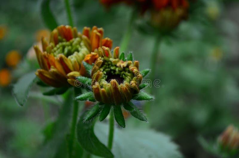 长毛的Rudbekia -一个草本植物,家庭菊科的类黄金菊的种类 免版税库存照片