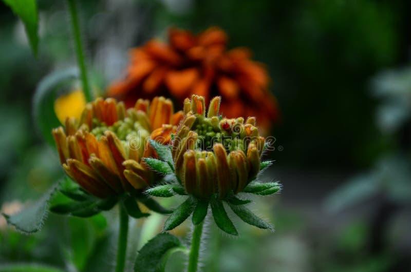 长毛的Rudbekia -一个草本植物,家庭菊科的类黄金菊的种类 库存照片