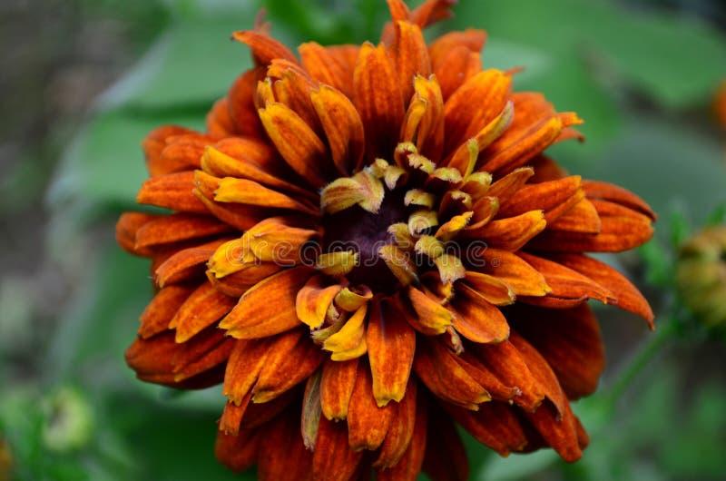 长毛的Rudbekia -一个草本植物,家庭菊科的类黄金菊的种类 库存图片