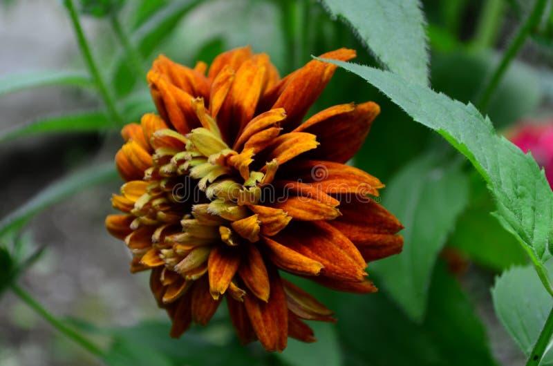 长毛的Rudbekia -一个草本植物,家庭菊科的类黄金菊的种类 免版税库存图片