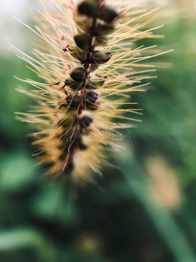 长毛的Uraria花看起来象狗尾巴 库存照片