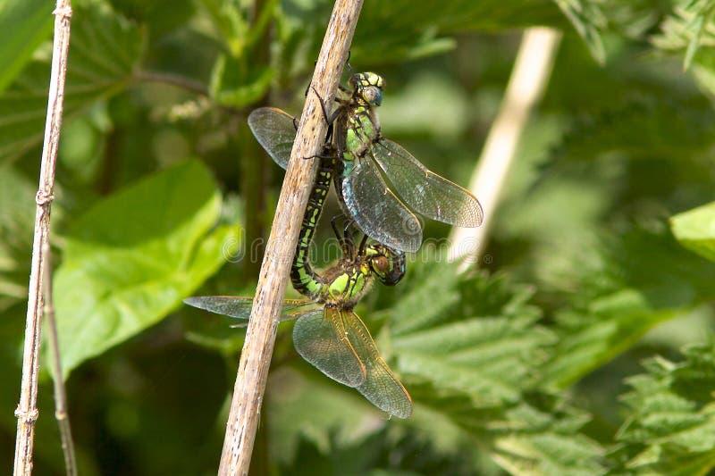 长毛蜻蜓联接 库存照片