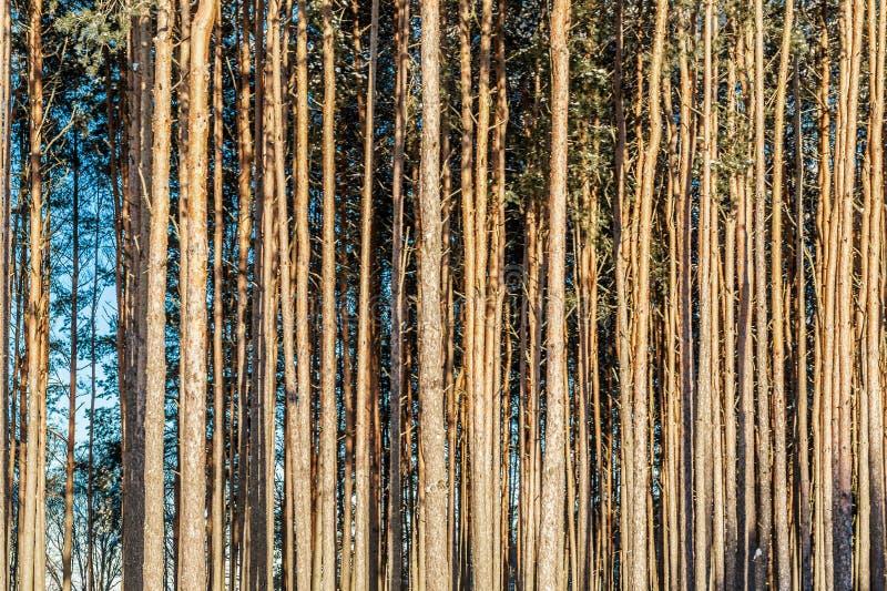 长的光滑的树树干具球果森林背景  免版税库存照片