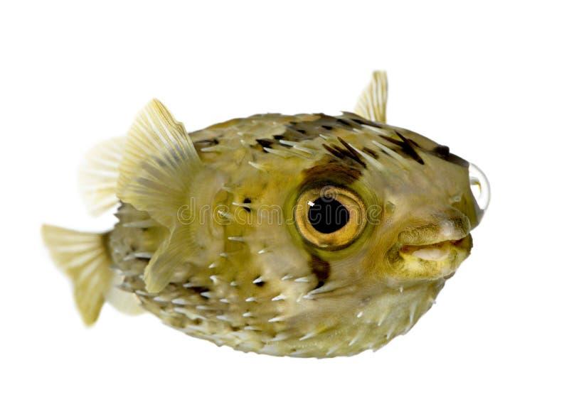 长的刺顿鱼脊椎 免版税库存照片