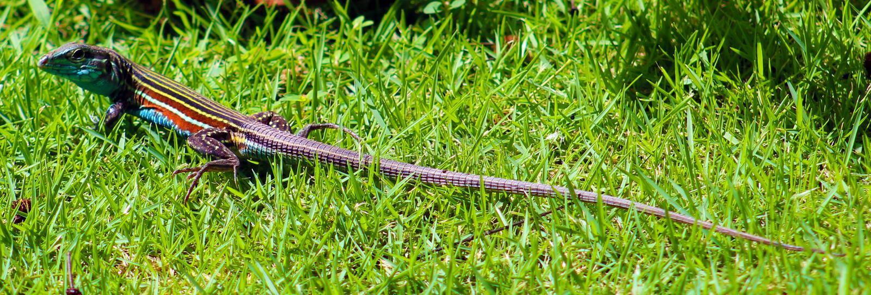 长的多色美丽的蜥蜴在哥斯达黎加 免版税库存图片