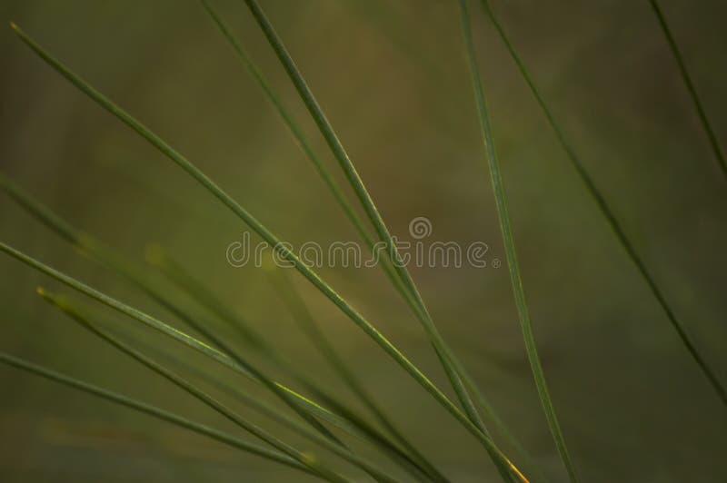 长的杉木针 库存照片