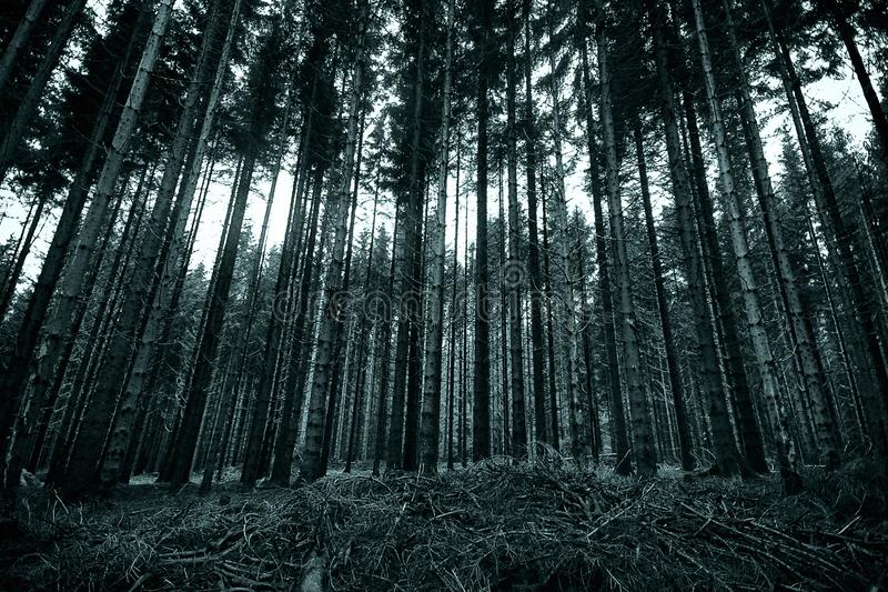 长的松树在黑白的森林里 库存照片