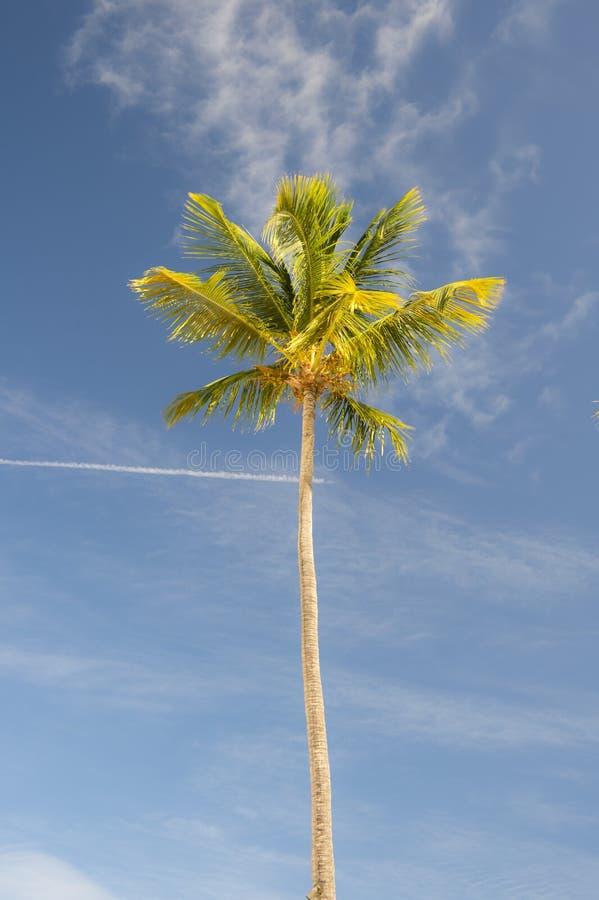 长的棕榈树 免版税库存照片