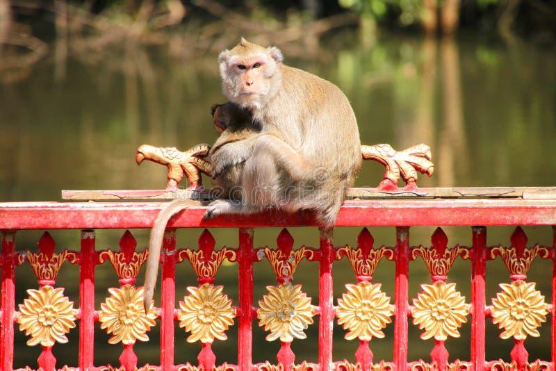 长的短尾猿猴子盯梢了 图库摄影