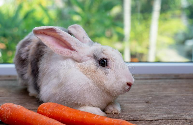长的耳朵和棕色条纹小兔逗留在红萝卜前面在木桌上有绿色背景 图库摄影