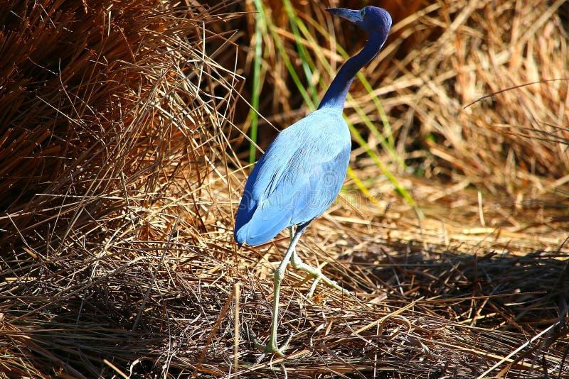 长的脖子蓝色鸟 库存图片