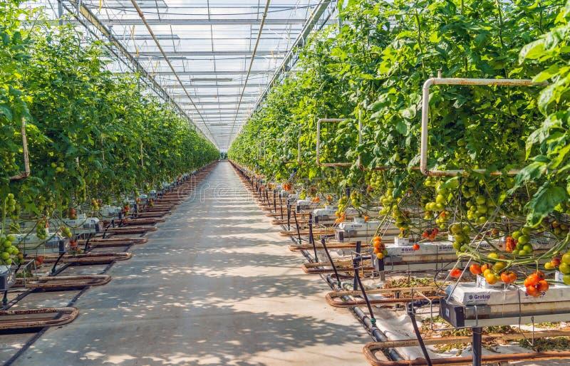 长的道路在一间大玻璃温室用水耕被种植的蕃茄 免版税库存图片