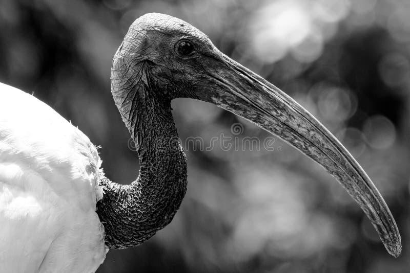 长的钩形的waterbird在马来西亚 库存图片