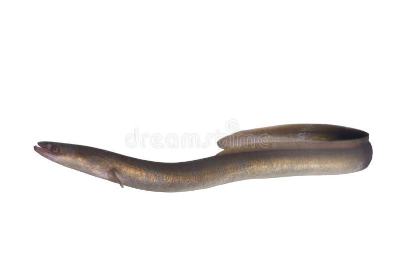长的鳗鱼 免版税库存照片