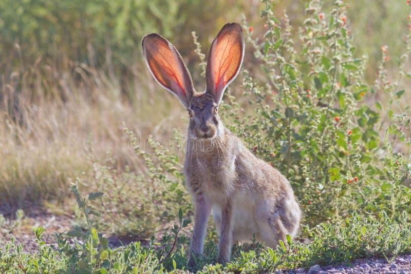 长耳大野兔 免版税库存照片