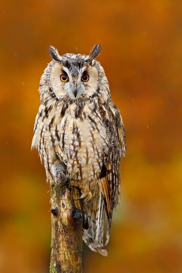 长耳朵猫头鹰,澳大利亚安全情报组织otus,坐橙色橡木分支在秋天期间 在森林野生生物场面的美丽的鸟从自然 抓住 库存照片
