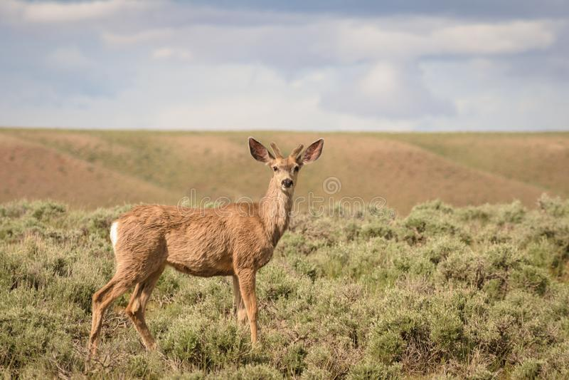 长耳鹿小伙子在科罗拉多 免版税库存照片
