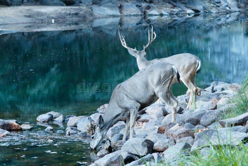 长耳鹿母鹿喝 图库摄影
