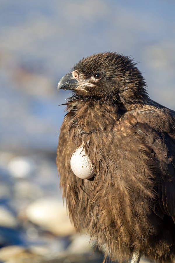 长腿兀鹰显示他是充分的被暴露的食物大袋意思 免版税库存照片