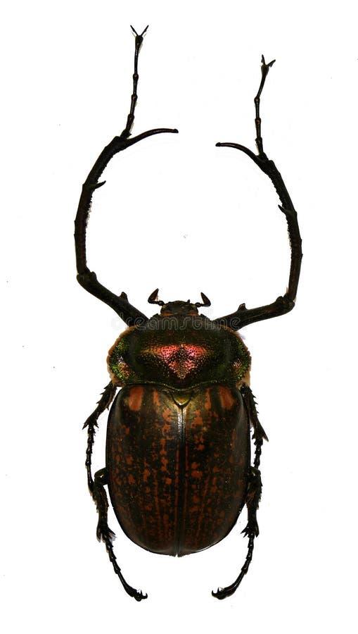 长腿的甲虫 库存照片