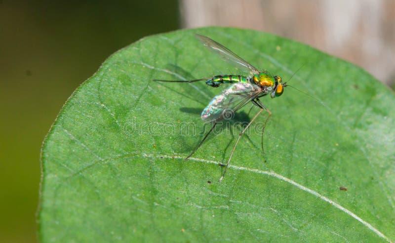 长腿的飞行(Dolichopodidae)在叶子 免版税图库摄影