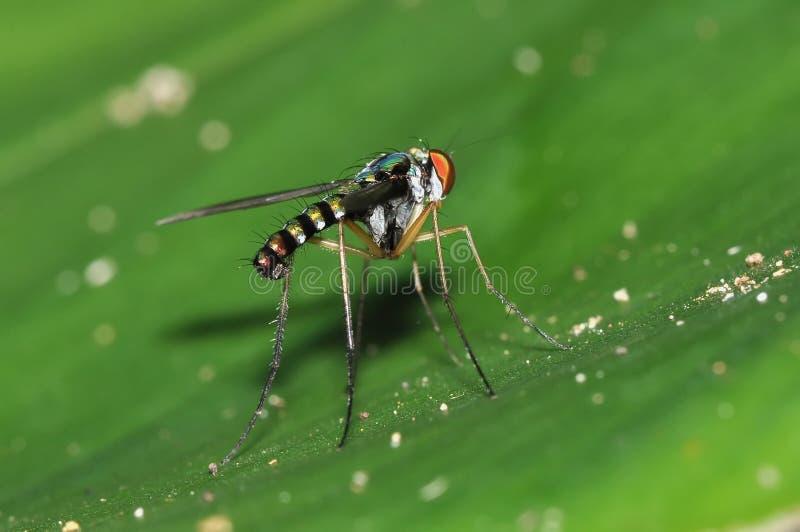 长腿的飞行Dolichopodidae,双翅目 免版税库存图片