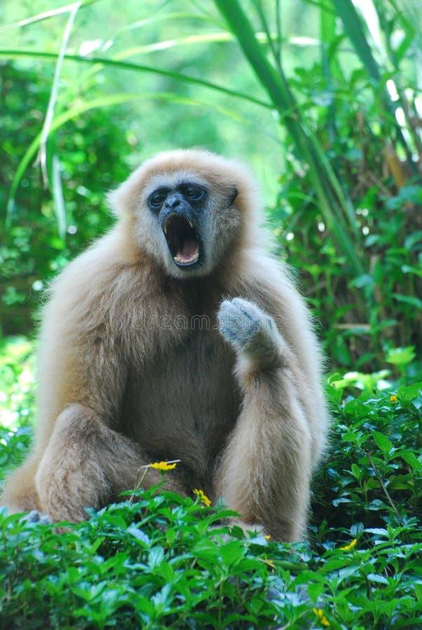 长臂猿是通过打呵欠放松 免版税库存照片