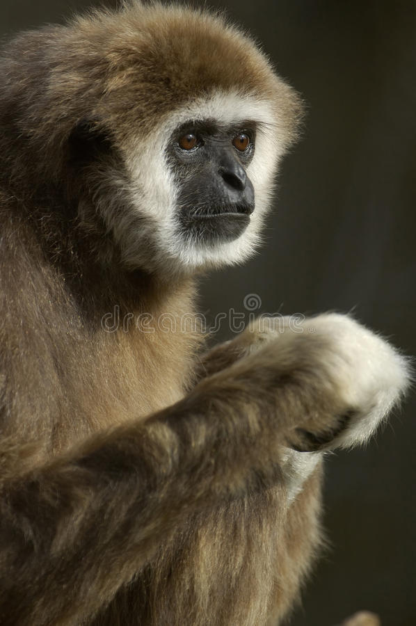 长臂猿递了白色 免版税库存照片