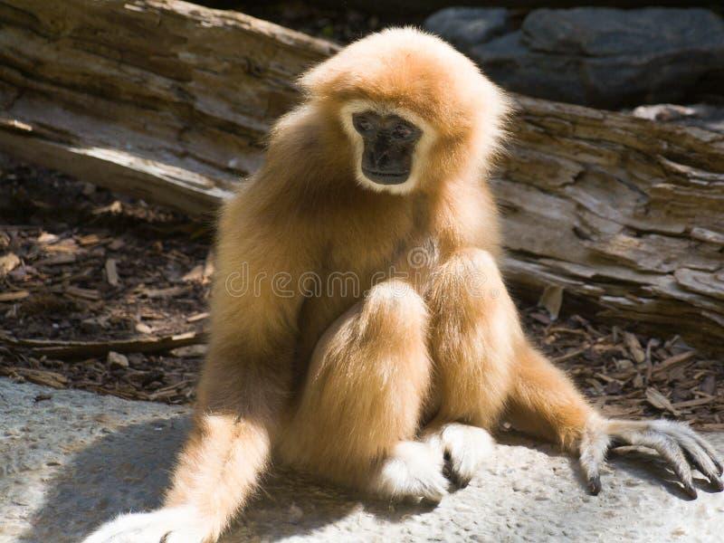 长臂猿递了白色 免版税图库摄影