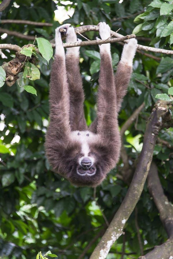 长臂猿 免版税图库摄影