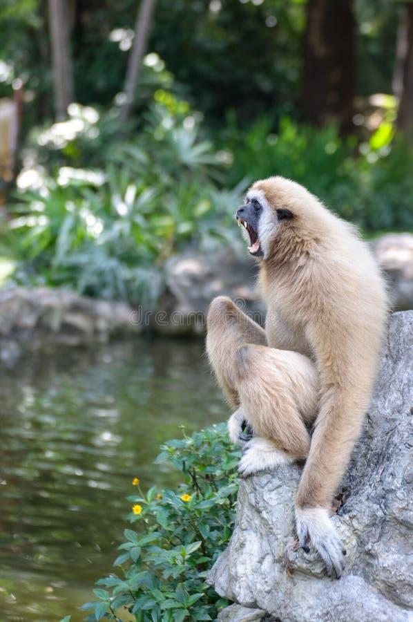 长臂猿 库存照片