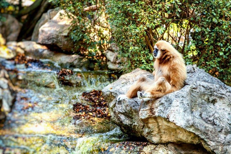 长臂猿pileatus在雨林放松行动 免版税库存照片
