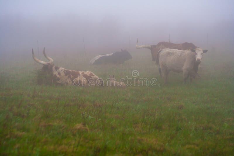 长角牛操舵在有雾的牧场地 库存照片