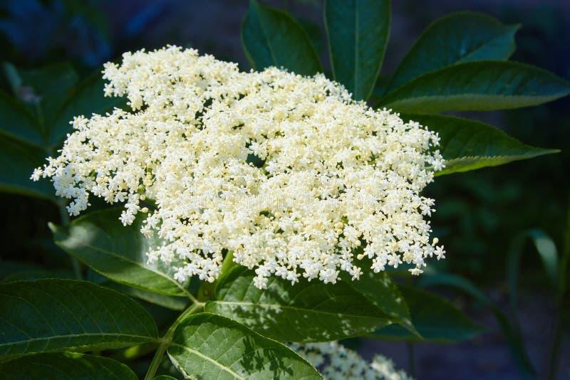 长辈,绿色狐狸在庭院里,在灌木的白花,开花的长辈 库存图片