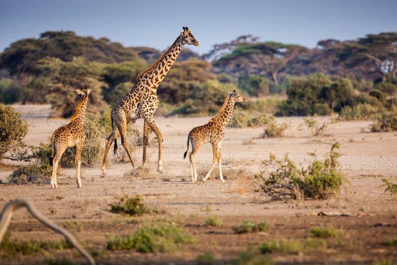 giraff年轻家庭  库存照片