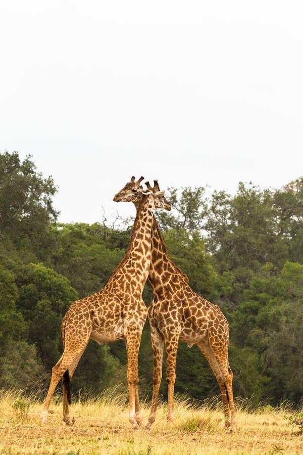 长颈鹿二 在大草原的战争 mara马塞语 免版税库存图片
