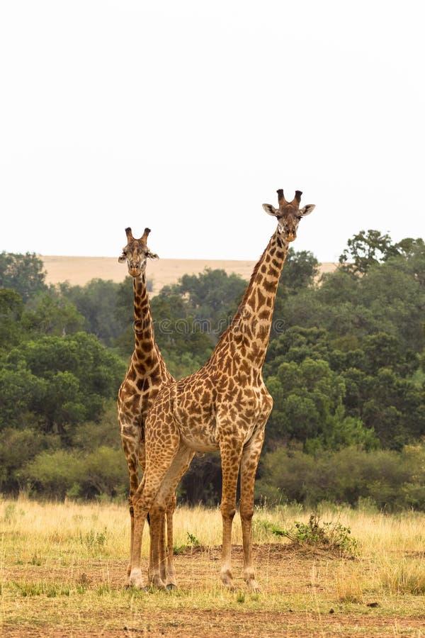 长颈鹿二 马塞语玛拉大草原  库存照片