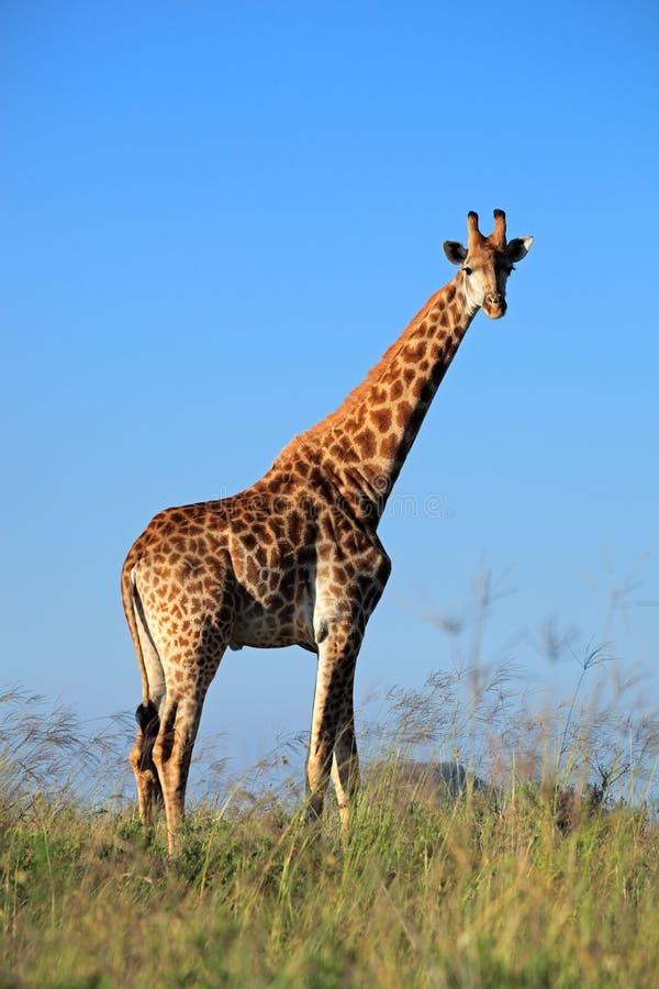 长颈鹿公牛 库存照片