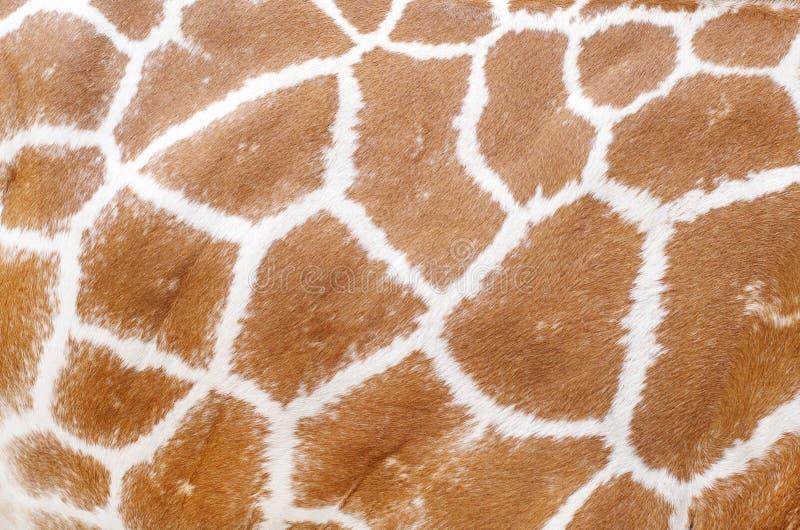 长颈鹿动物皮毛纹理 免版税库存图片