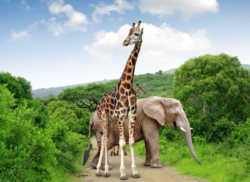 长颈鹿和大象 库存图片
