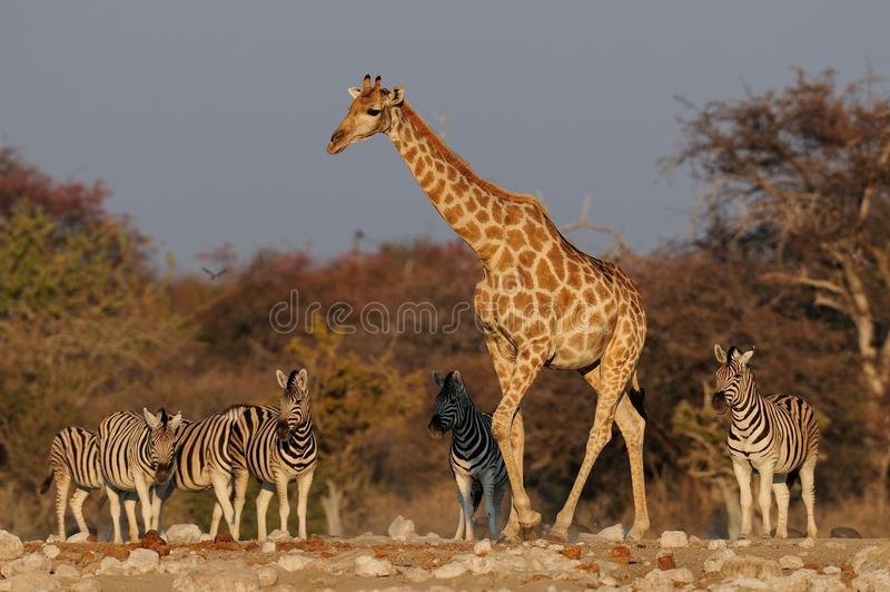 长颈鹿和斑马, etosha nationalpark,纳米比亚 免版税库存图片