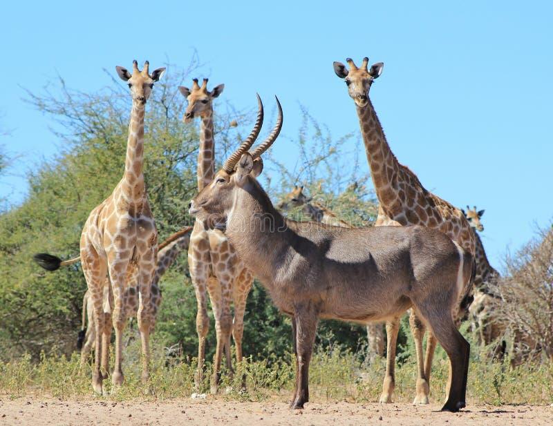 长颈鹿和Waterbuck -非洲野生生物汇聚 库存照片