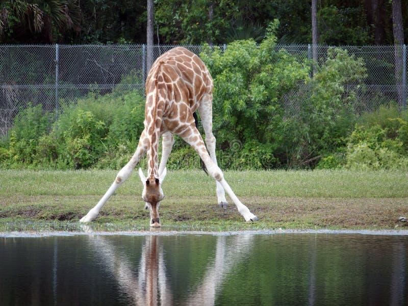 长颈鹿喝 库存照片