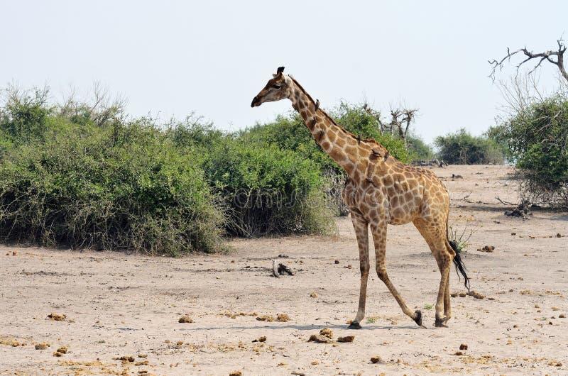 长颈鹿在乔贝国家公园,博茨瓦纳 库存图片