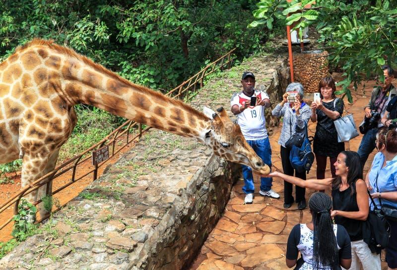 长颈鹿在内罗毕肯尼亚 免版税库存图片